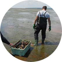 Harvesting Oysters